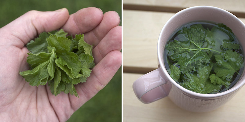 make your own blackcurrant leaf tea