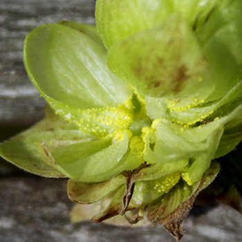 lupulin in hop cones
