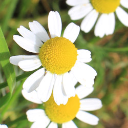 Grow your own chamomile