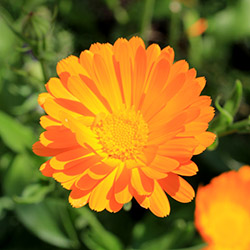 Grow your own marigold